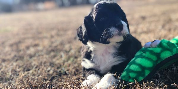 Portuguese Water Dog puppies,   PWD puppies,