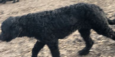 Curly Portuguese Water Dog
