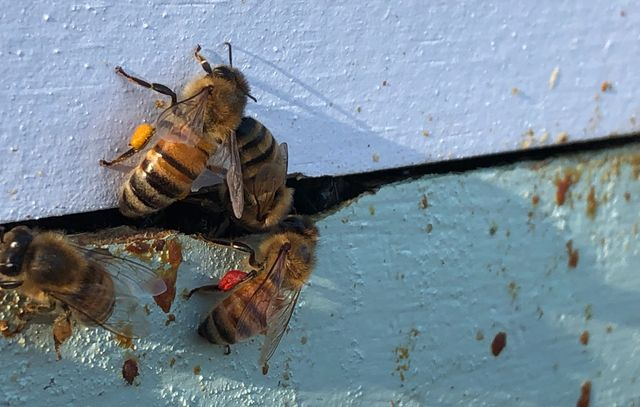 Bees finding some pollen on a 55-degree afternoon in January.