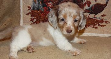 DAPPLE GIRL A RARE FIND SHE IS A LONG HAIRED GIRL  AKC  GO HOME DATE 11/24/2011  WE HAVE 7 BEAUTIFUL
