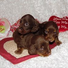 Creekside Doxies Miniature Dachshunds Dachshund Puppies Breeder