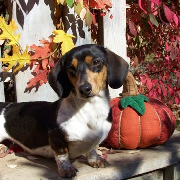 Creekside Doxies - Miniature Dachshunds, Dachshund Puppies