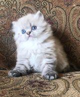 Persiankittenpals - Beautiful Persian Kittens for Sale in Texas