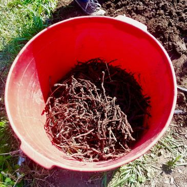 Madder Root takes 3-4 years to grow before harvesting the roots which produce peach to  reds.