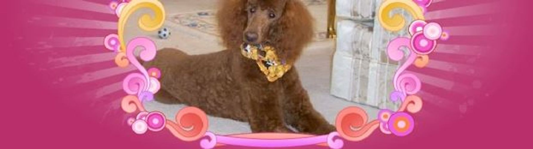 Example of a red standard poodle breeder