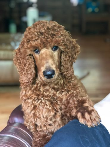 Poodle Puppies - Vision Red Standard Poodles | Vision Red
