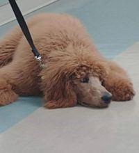 Red Standard Poodle Breeder | Vision Kennel Poodles