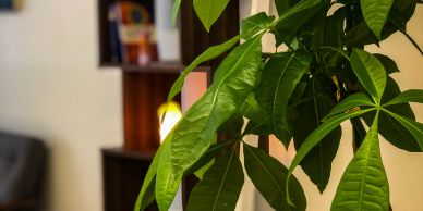 Beautiful money tree plant in an acupuncture and wellness center
