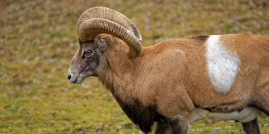 Southern and Central Asia, reddish brown, males have beard from neck to the chest and large horns.