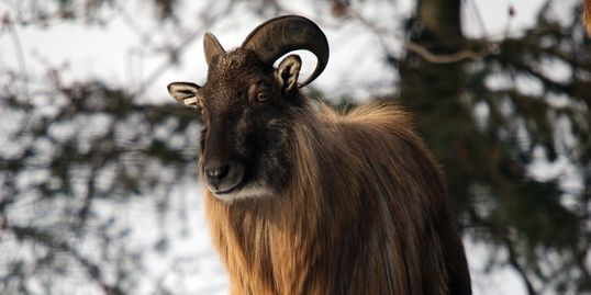 Tahr horns range between 9-14 inches. trophy Tahr have  long mane horns 12 1/2 to 13 1/2 inches.
