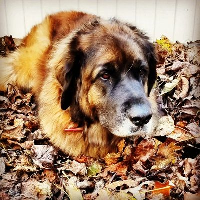 Nyx, my first Leonberger