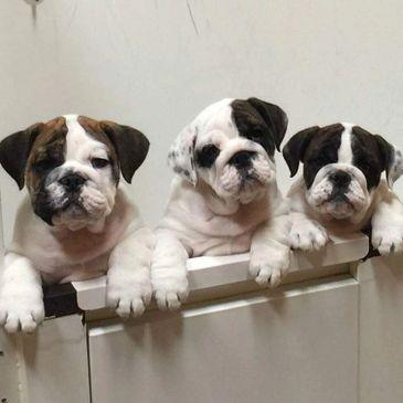 Burtons Bulldogs