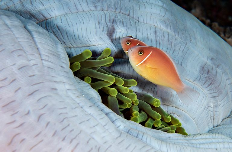 Tentacles Retracted-Amphiprion Pair By Steve Fisher