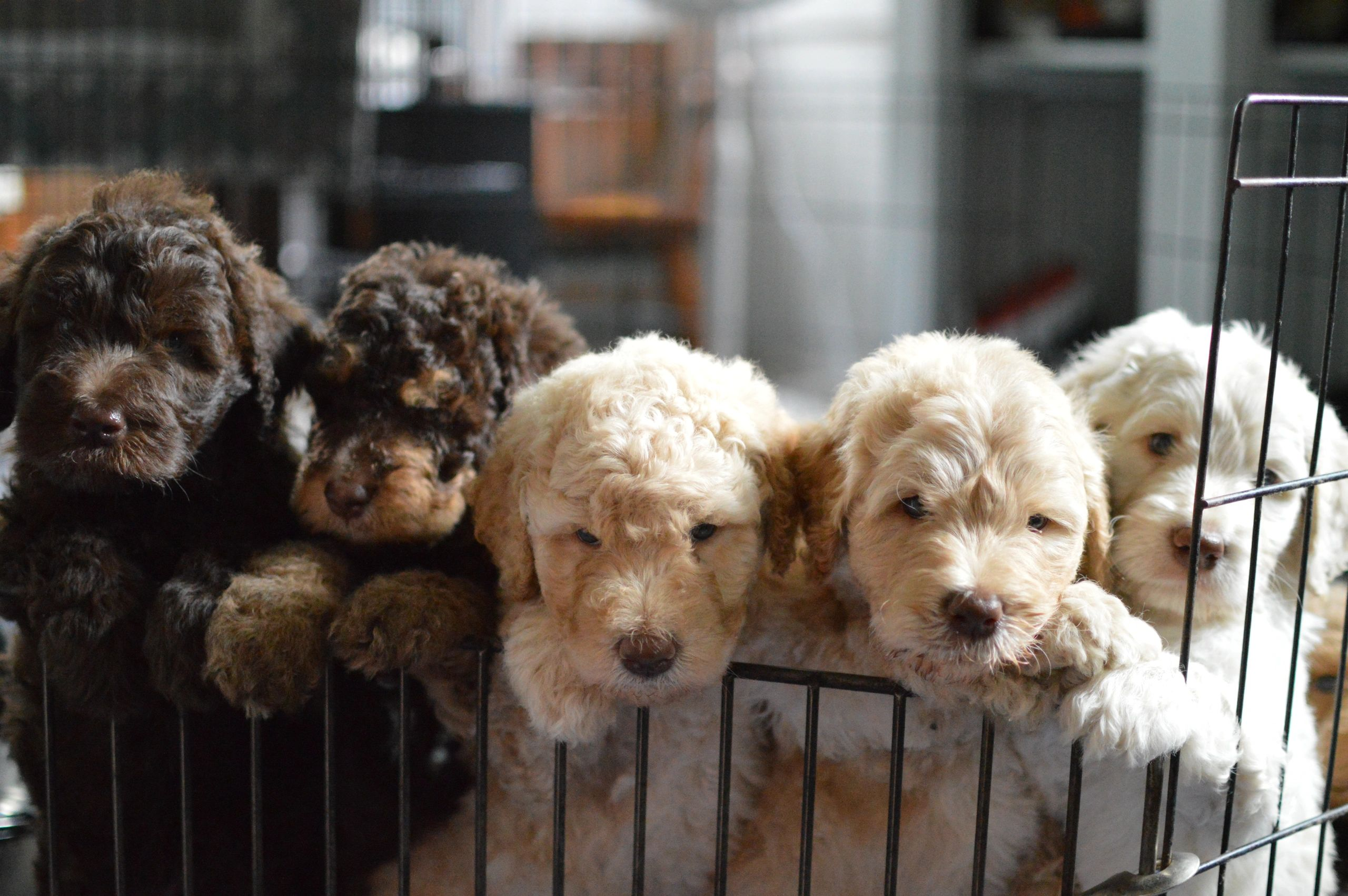 Riverhouse, Doodles, Labradoodle, Goldendoodle, puppies, dog, pup, Pittsburgh, PA, Bernedoodle