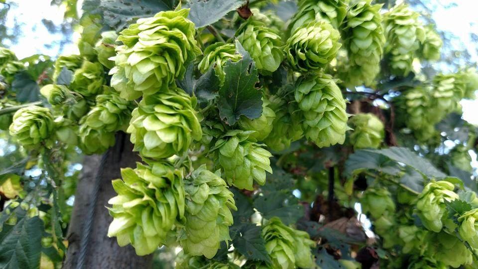 Hops Pellets Eureka 13/% Alpha 100g Type 90 Aroma hops Beer Brewing