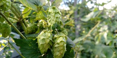 Willamette Hops Whole Leaf-Flavor- Mild and pleasant slightly spicy, fruity, floral little earthy