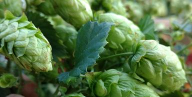 Cascade Hops Pellets-Flavor- Pleasant, flowery, spicy and citrusy. Beer Types: Pale Ale, IPA, Porter