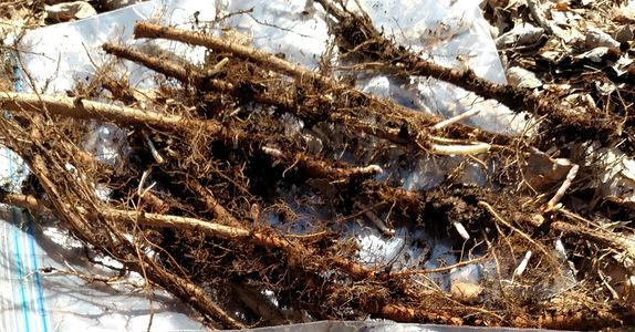 Cascade Hops Rhizomes- Yield potential- high 1,400-2,000 lbs/acre. Flavor flowery, spicy,citrusy.