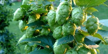 Columbus Hops Powder Pellets - Flavor- Floral and Citrus notes pleasant, with pungent aroma.