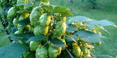 Columbus Hops Whole Leaf-Flavor- Floral and Citrus notes pleasant, with pungent aroma.