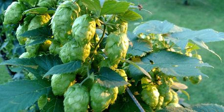 Rockin' Hops Whole Leaf -Rockin' Hops Whole Leaf are Dried and Vacuum Sealed