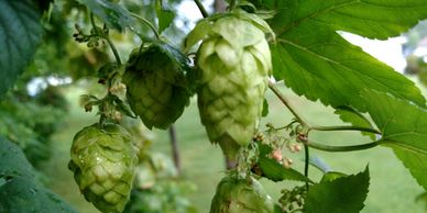 Zues Hops Whole Leaf-Flavor- Floral and Citrus notes pleasant, with pungent aroma.