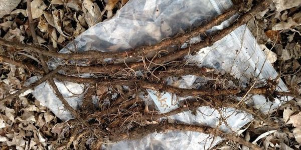 Cashmere Hops Rhizomes Yield potential- medium 1,200 - 1,400 lbs/acre. Flavor- Tropical Fruity