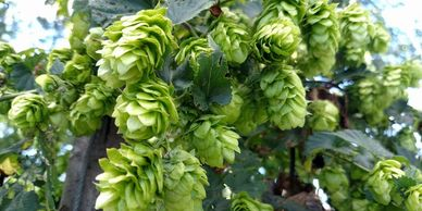Crystal Hops Whole Leaf-Flavor- Woodsy, spice notes of cinnamon, floral and fruity.