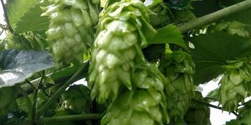 Chinook Hops Pellets-Flavor- Mild to medium-heavy, spicy, piney and grapefruit.