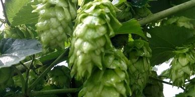 Rockin' Hops Chinook Hops Pellets-Flavor- Mild to medium-heavy, spicy, piney and grapefruit.