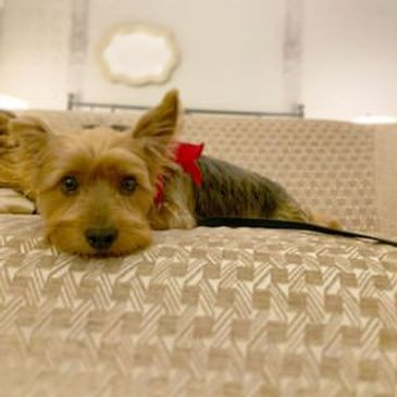 austin hotel pet sitting services: the sporty dog
