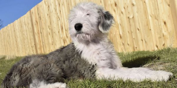 Sheepadoodle Breeder Poodle Old English Sheep Dog