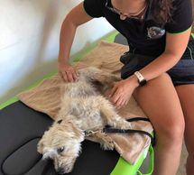 Massages for small sized dogs that are a bit older are also an option.