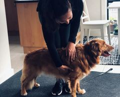 Obie the Nova Scotia Duck Tolling Retriever getting a massage.