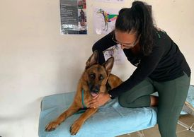 German Shepherd getting a remedial massage focusing on the hips and stretches.
