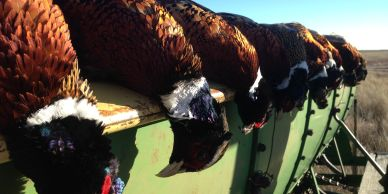 Public pheasant hunting - other walk-in bird hunting spots. Finding bird hunting spots.