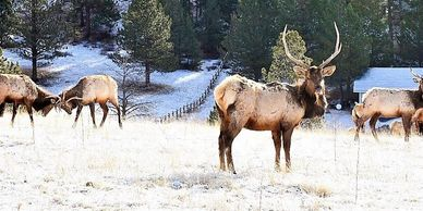 Herd of elk grazing and fighting on Rocky Creek Lodge property.