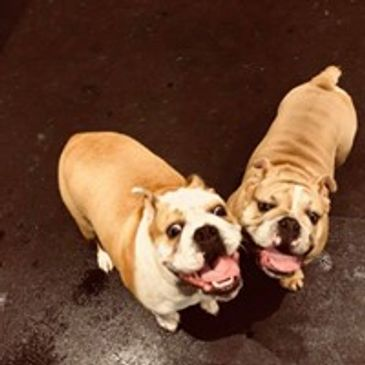 2 English Bulldogs at Doggy Daycare Ted and Ruby