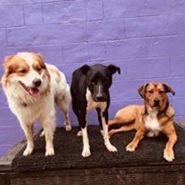 3 rescue dogs relating Rider, rocky and lolly relaxing at doggy daycare
