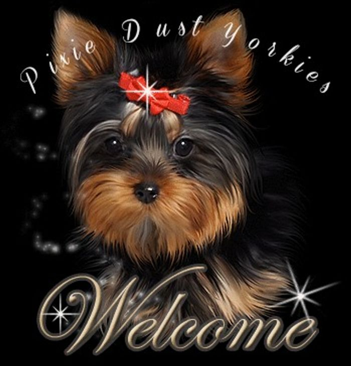 My Yorkie Babies - Yorkshire Terrier Puppies, Yorkie Puppies