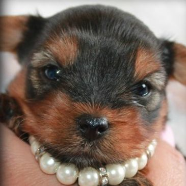 YORKIE PUPPIES  YORKIE DOGS YORKSHIRE TERRIER GROOMING YORKIE IMAGES SMALL DOGS  YORKIE FOR ADOPTION