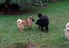 This is Athena playing with Cocoa back when she was still living with us