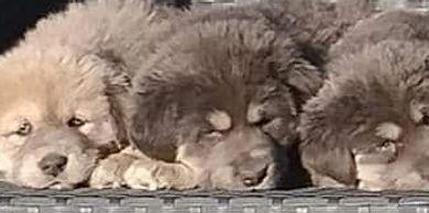 AsianBears net - Tibetan Mastiff, Akita, Asian Bear Dog
