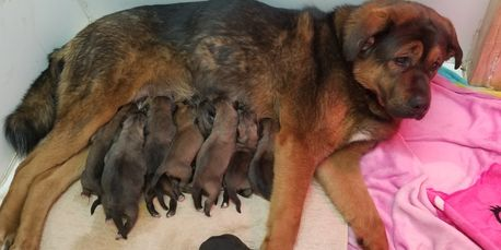 Noble Asian Bear puppies 1 day old with Asian Bear Dog mother Violet.