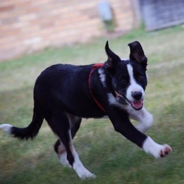 Penny is a black and white tri, smooth coat, she was only a few months old when my grandkids named h