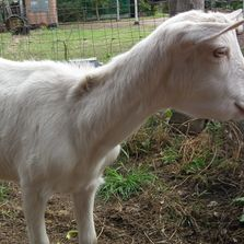 goat showing bottle jaw and thin due to worms