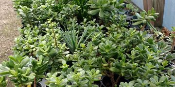 Succulent and Cactus Plants - Charlotte's Largest Selection