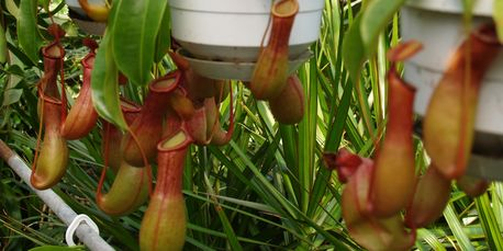 Pitcher Plant available in Charlotte