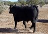 Coming 2 year old Bull in our March 2019 offering. Thick, soggie and heavy muscled