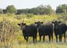 Set of coming two's Bred Heifers.